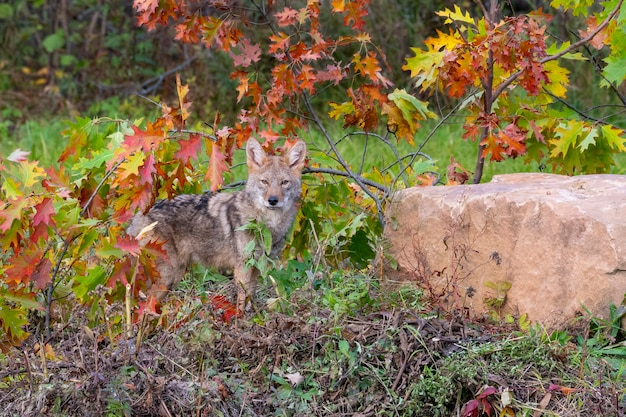 Coyote in the woods with autumn colors