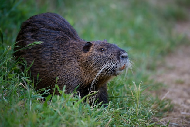 Coypu also called nutria