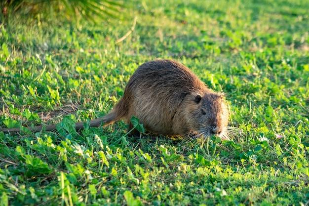 푸른 잔디에서 coypu 물 쥐.