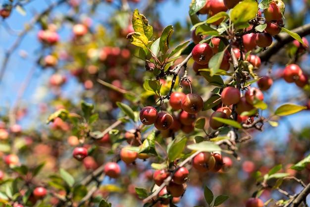 Краб яблоня в сигишоара, трансильвания, румыния