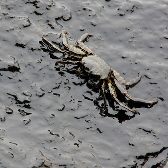 Crab and crude oil spill on the stone at the beach