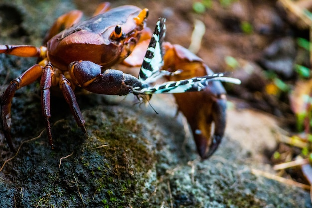 Crab hunting butterfly