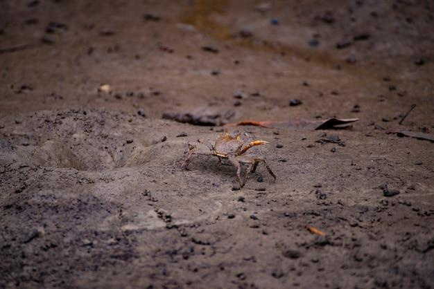 Crab on the mangrove in south thailand. Premium Photo