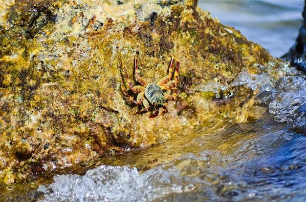 紅海の岩の多い海岸に座っているカニ。エジプト、シャルムエルシェイク。