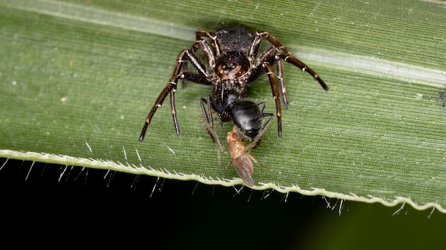 Crab spider of the family thomisidae preying on an ant