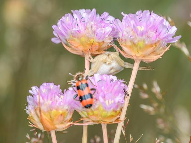 Crab spider (thomisus onustus) hidden in the flowers