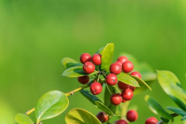 スパイシーな香りの果樹園のリンゴのcrabapple非常に甘い酸味