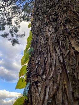 낮에 공원에서 담쟁이덩굴 덩굴이 있는 오래된 나무의 금이 간 껍질. 아름 다운 천연 나무 질감된 배경입니다. 나무 줄기의 상세한 짙은 갈색 톤입니다. 거친 유기농 질감