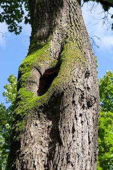 Треснувший ствол дерева, на коре которого растет зеленый мох