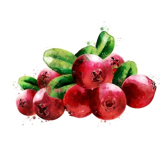 Cranberry. watercolor illustration