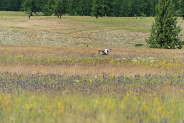 Crane-bellad , walks on the steppe with its chicks