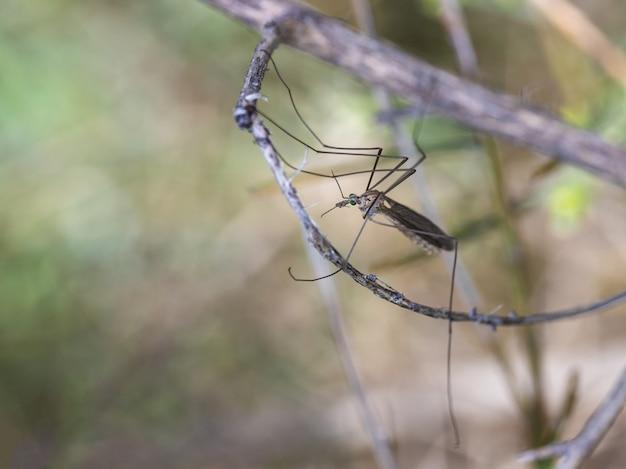 Журавль-муха - обычное имя, относящееся к любому члену семейства насекомых tipulidae.
