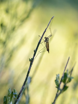 Crane fly is a common name referring to any member of the insect family tipulidae.