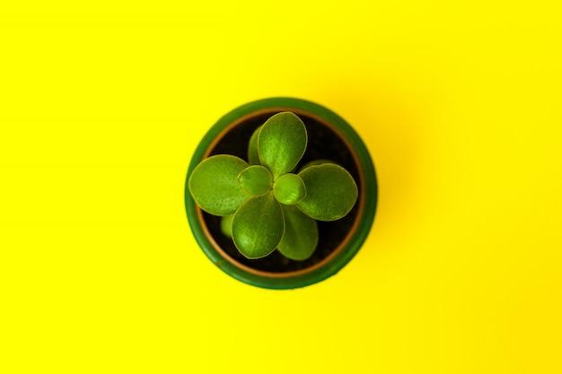 Crassula flower succulent plant in green ceramic pot