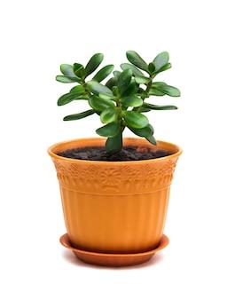 흰색에 고립 된 갈색 냄비에 crassula ovata 옥 homeplant 돈 나무