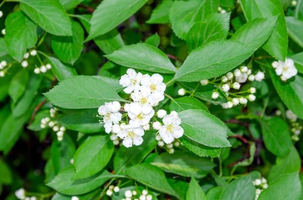 Боярышник crataegus laevigata цветет весной