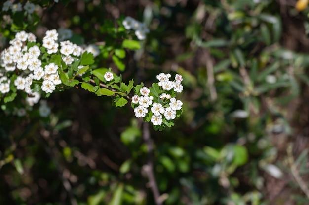 Crataegus monogyna known as common hawthorn oneseed hawthorn or singleseeded hawthorn