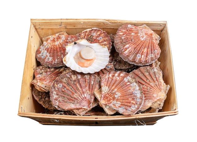 Crate full of fresh scallop shells on a white surface