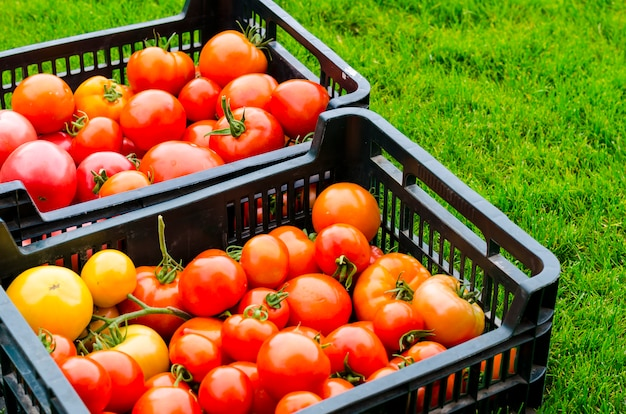 Crates with ripe tomatoes stand on the grass, harvesting, summer