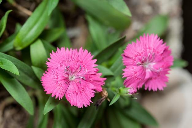 Cravina dianthus chinensis  flowers