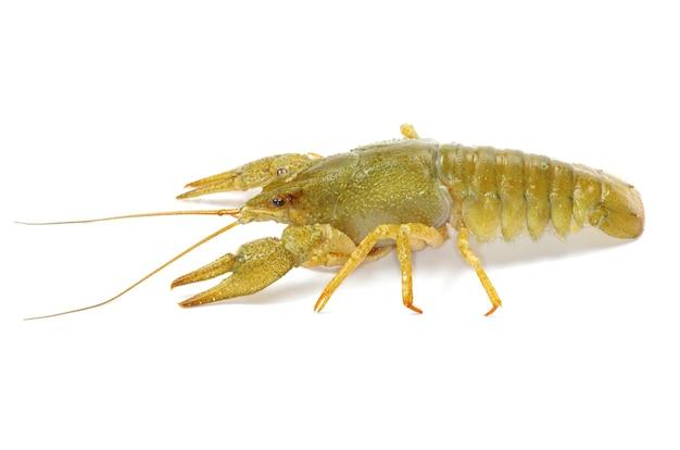 Crawfish on a white background