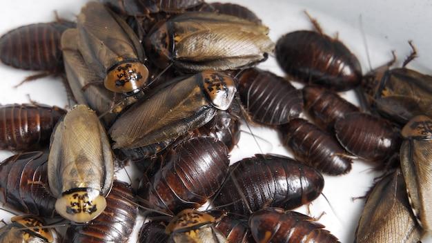 크롤링 바퀴벌레 클로즈업, 상위 뷰입니다. 많은 해충, 역겨운 곤충. 흰색 배경에 고립. 4k uhd