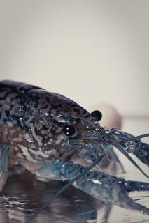 Crayfish, claws