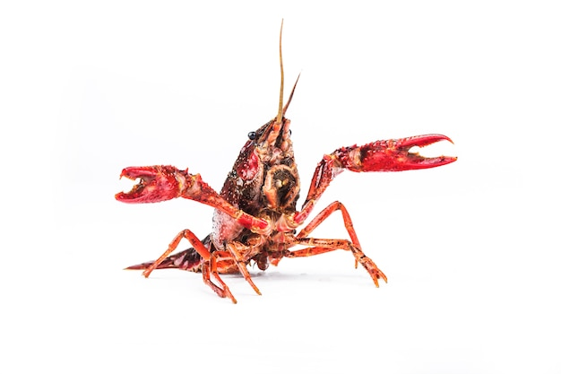 Crayfish, crawfish isolated on white