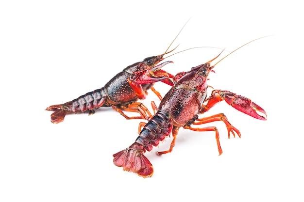 Crayfish,crawfish isolated on white