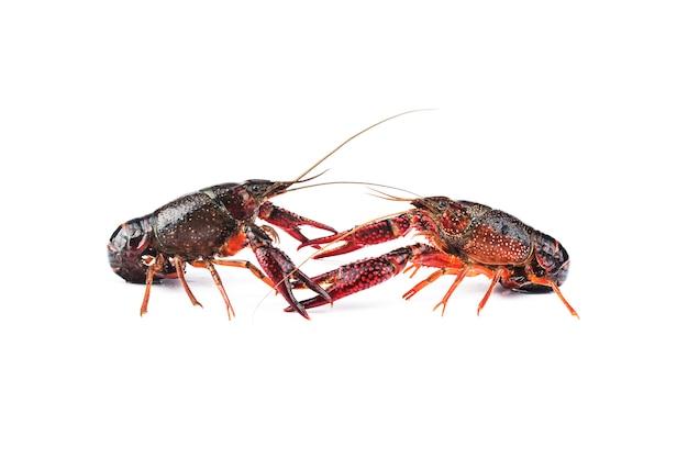 Crayfish,crawfish isolated