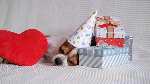 Crazy chihuahua dog in party hat sleep with christmas gifts and red heart lie down on coach. sleep. merry christmas. happy new year. santa dog.