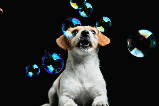 Безумно счастлив. джек рассел терьер маленькая собачка. милая игривая собачка или домашнее животное играет на черном фоне с мыльными пузырями. понятие движения, действия, движения, любви домашних животных. выглядит счастливым, довольным, забавным.