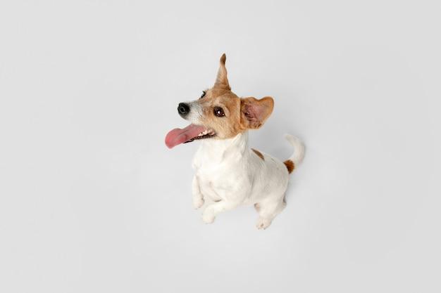 Безумно счастлив. позирует собачка джек рассел терьер. милая игривая собачка или домашнее животное, играя на белом фоне студии. понятие движения, действия, движения, любви домашних животных. выглядит счастливым, довольным, забавным.