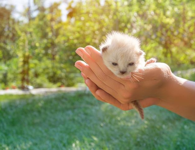 女性の手のひらにクリーム色の子猫。女性の手のひらの小さな赤ちゃん猫。