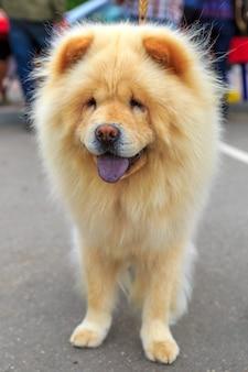 クリーム犬のチャウチャウの品種