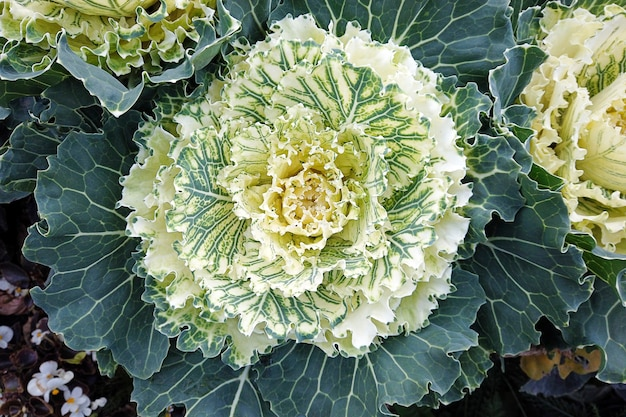 Cream white ornamental cabbage plants in autumn garden