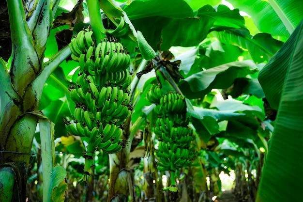 バナナ畑の創造的な農業の背景