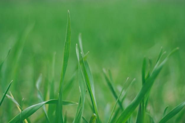 흐릿한 녹색 잔디 잎의 창의적인 배경 이미지입니다. 복사 공간, 선택적 포커스