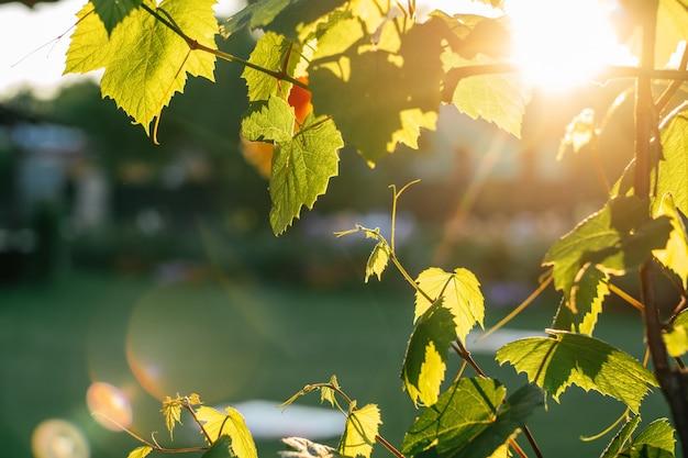Творческий фон из размытых ветвей лозы, с солнечными лучами и бликами от линз
