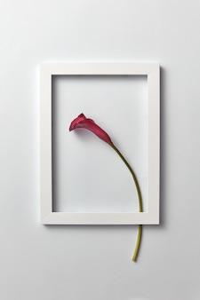 밝은 회색 벽에 사각형 프레임에 신선한 빨간 칼라 백합 꽃과 크리 에이 티브 구성.