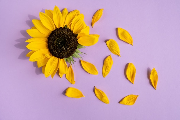 Creative design with sunflower and petals on purple background