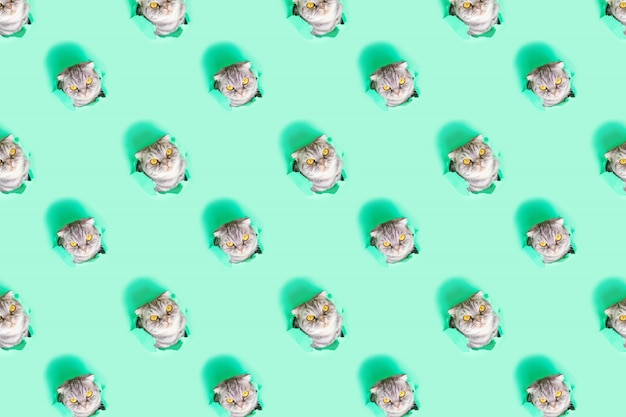 Creative funny pattern. the face of a gray scottish fold cat in a hole of green paper. curious naughty cute pet. minimalistic concept. peekaboo