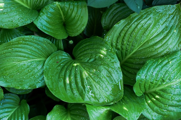 Creative layout made of green leaves after rain with water drops