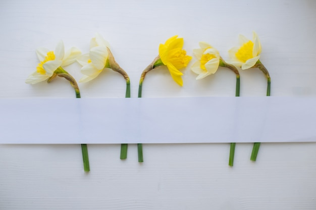 Creative layout made with narcissus flowers on white wood background. flat lay. narrow paper strip for copy space.