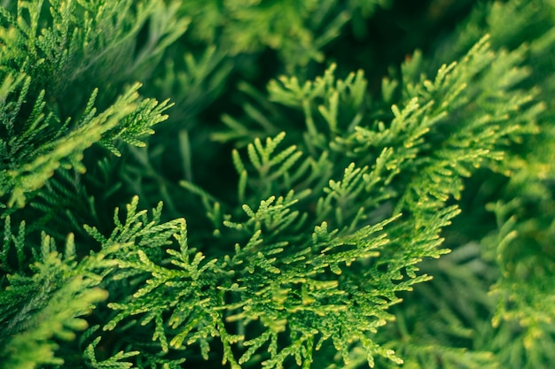 Creative partially blurred background of green thuja branches, copy space