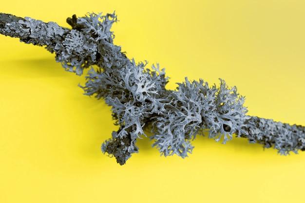 トレンディなイルミネーションイエローの表面に地衣類(hypogymnia physodes)が付いた松の枝のクリエイティブな写真。