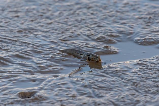 ビーチの生き物、ジャンプする魚-マッドスキッパー