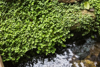 Creepers growing on rock over the flowing stream