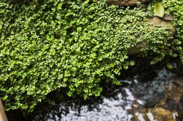 Creepers che crescono su roccia sopra il flusso scorrente