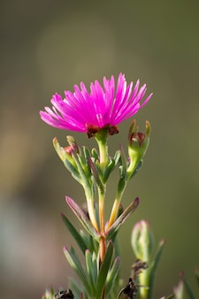 Creeping shrubby succulent ice plant with fucsia flower